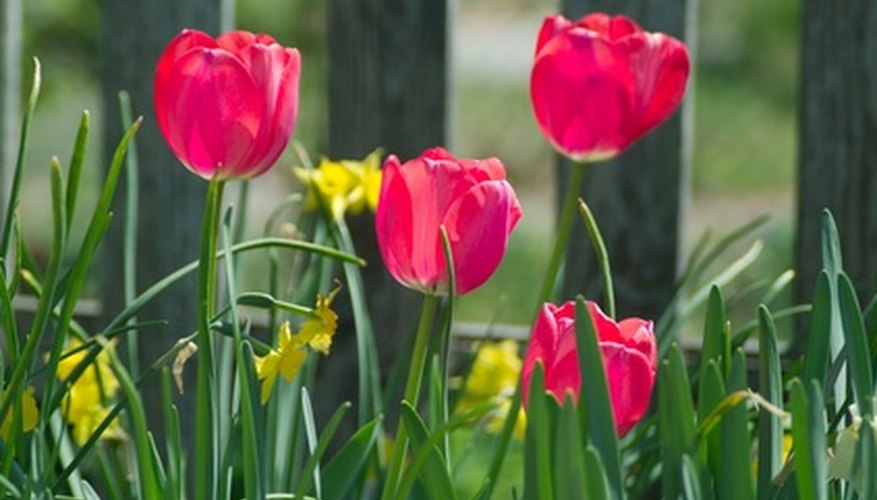 Fertilizing helps spring bulbs return the next year.