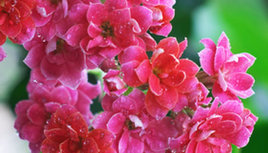 Pink kalanchoe ranges in colors of dark to light.