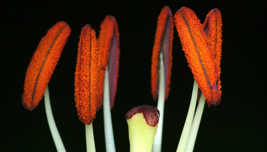 Bright orange pollen covers the anthers and the end of the stamen of the flower.