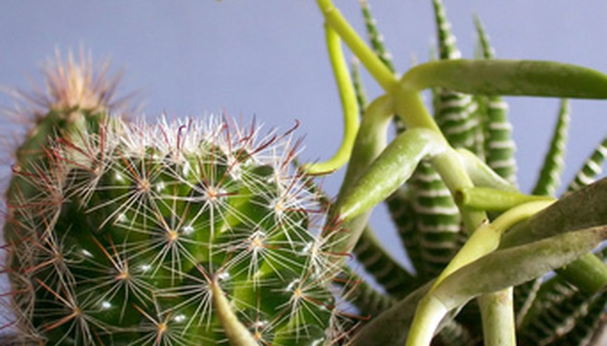 Succulents and cacti are often planted in terrariums.