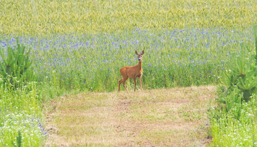 Deer will forage in a flower bed when they are hungry.