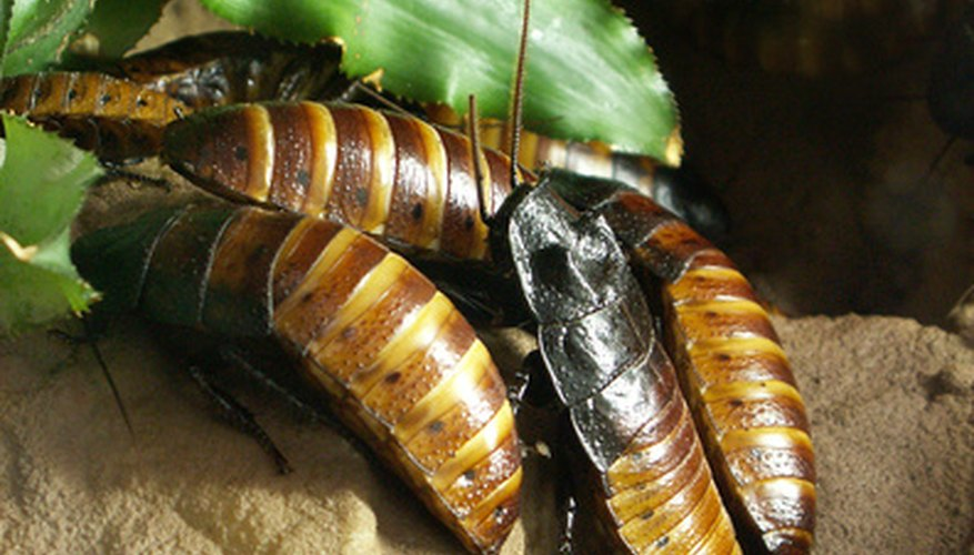 The larvae of beetles, known as grubs, can be destructive to lawns.