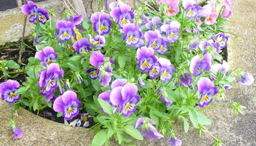 Violas accommodate bees with markings.