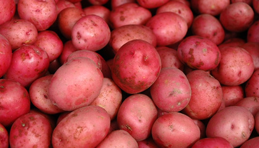 Red potatoes are ready for harvest in August or September.