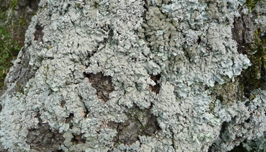 Green growth on the bark of oak trees does not affect the tree's health.