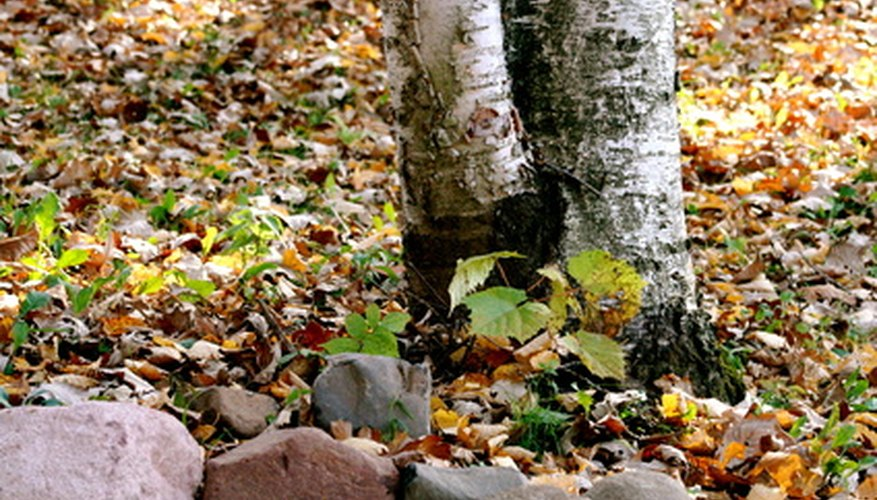 Native paper birches have shallow roots that catch water.