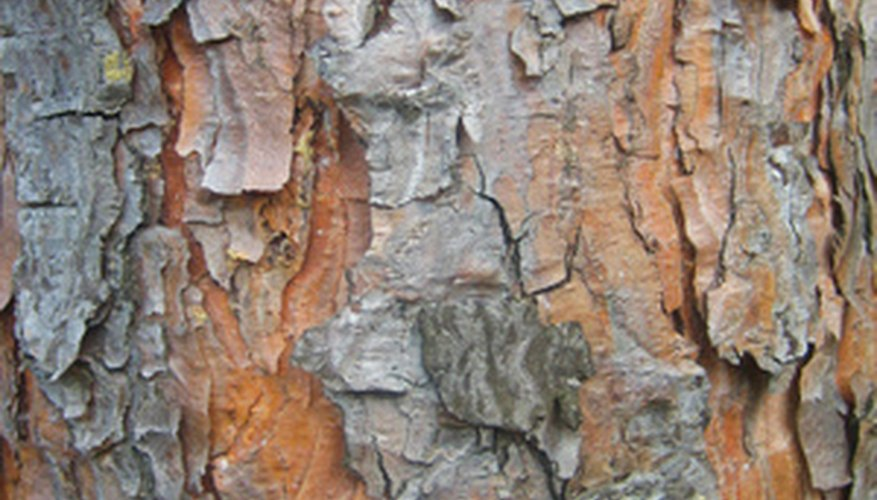 The color and texture of pine tree bark varies from tree to tree.