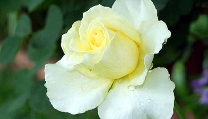Roses may grow on bushes, as climbing vines or on single stems.