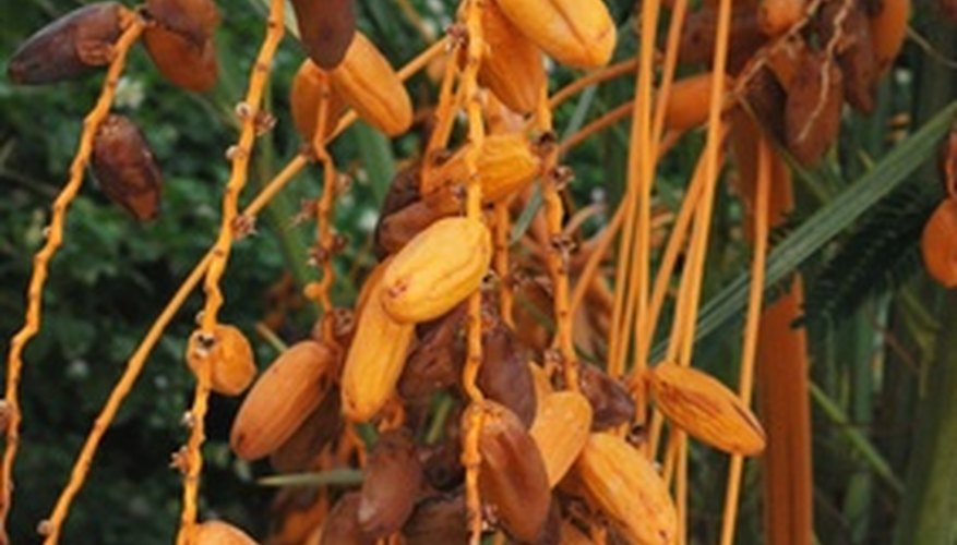 Dates are a favorite palm tree fruit in Florida.