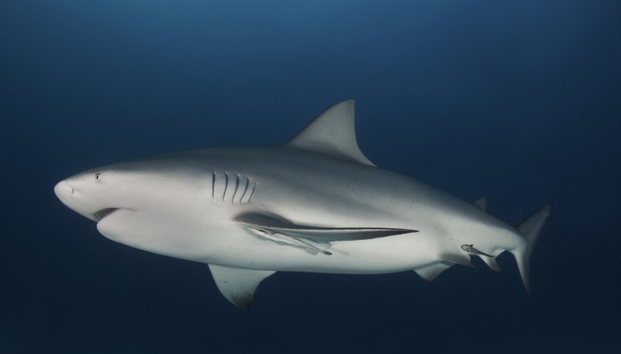 The bull shark gets its name from its short snout and aggressive personality.