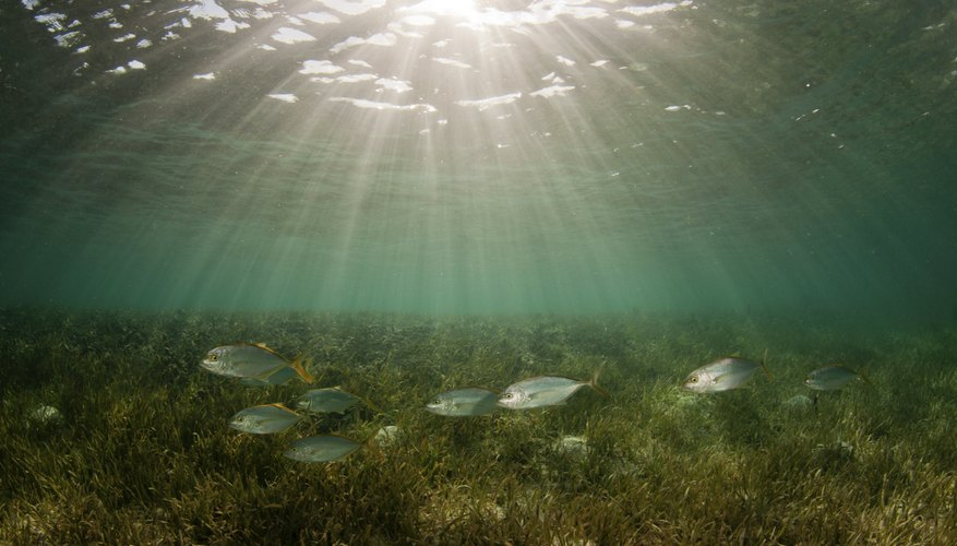 A school of fish swimming over a bed of seagrass on the ocean floor.