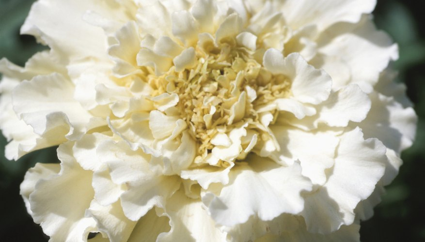 Carnations are a hearty, long-lasting flower.