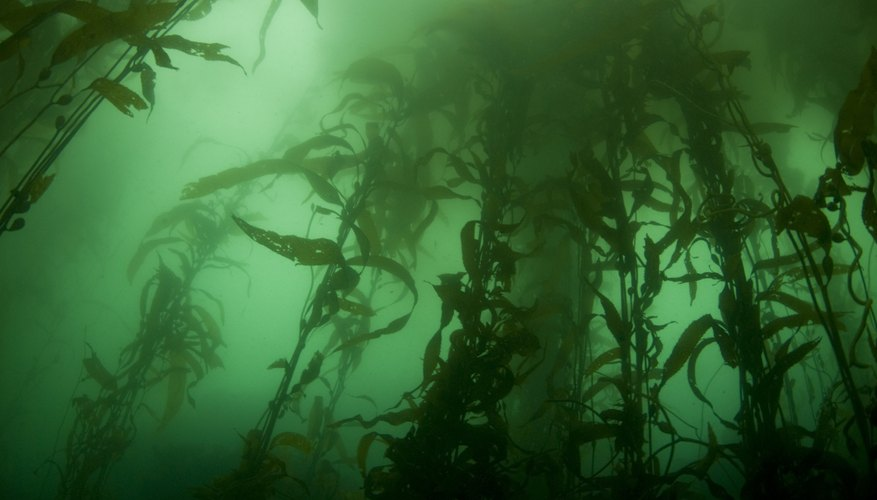 Giant kelp is one of the fastest growing plants in nature.
