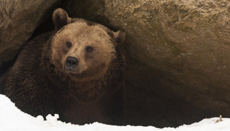 A grizzly bear peeking out of a den.