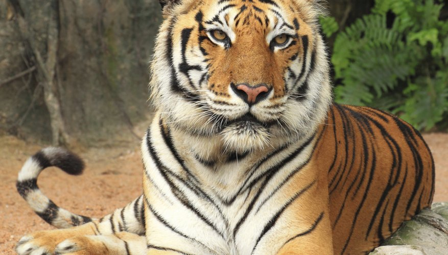 the characteristics of the tiger a feline carnivore species Carnivore species recorded as being  cat eat dog: social-ecological dimensions of dog predation by  the differing characteristics of these ecological.