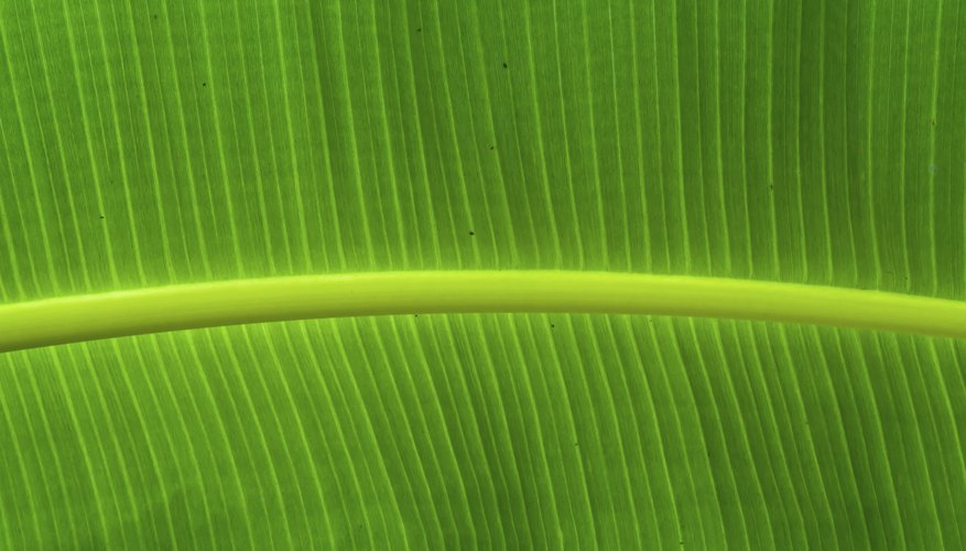 Chlorophyll captures energy from sunlight and converts it too high energy electrons.