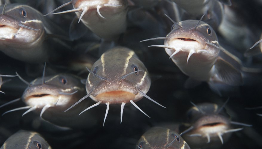 What do catfish eat sciencing for Fish eat and grow
