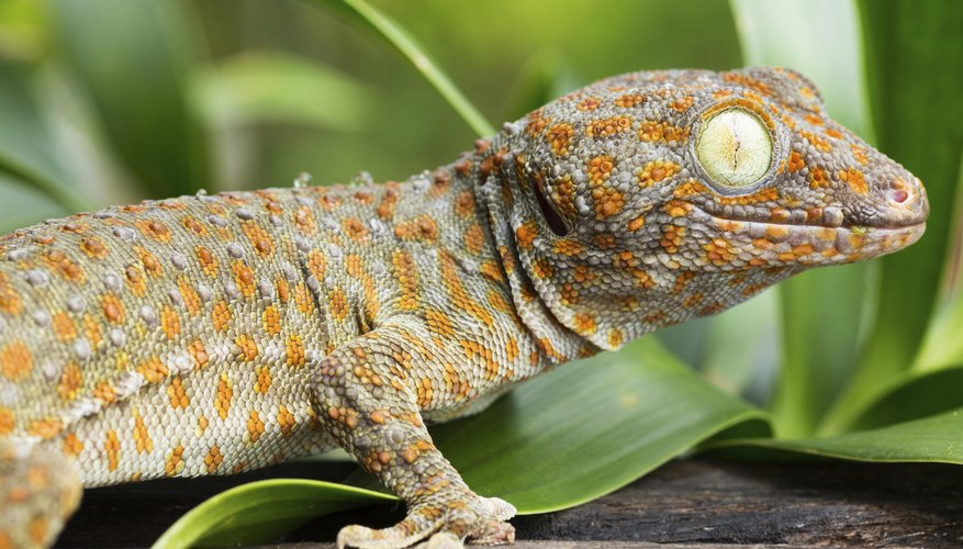 Small populations of tokay geckos, a native of Southeast Asia, have been found on the island of Oahu.