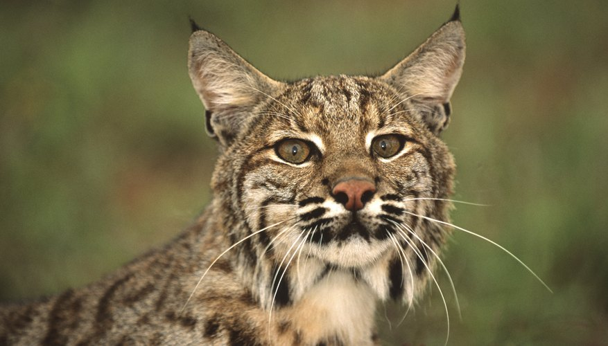 You may need a permit for your bobcat.