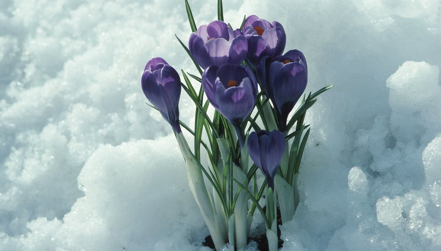 Pirple crocus flowers bloom in the snow.