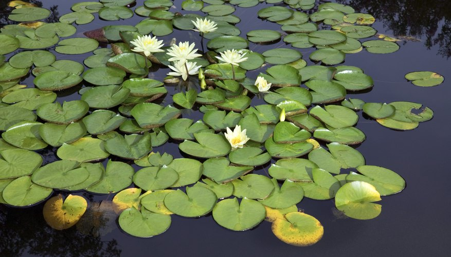 Water Lily Adaptations Sciencing