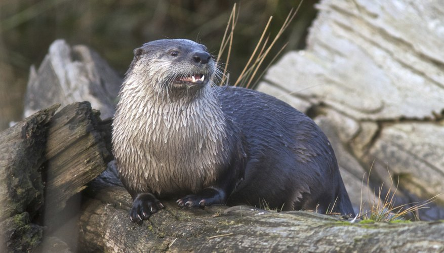 Otters will consume prey in the water or sometimes haul it ashore.