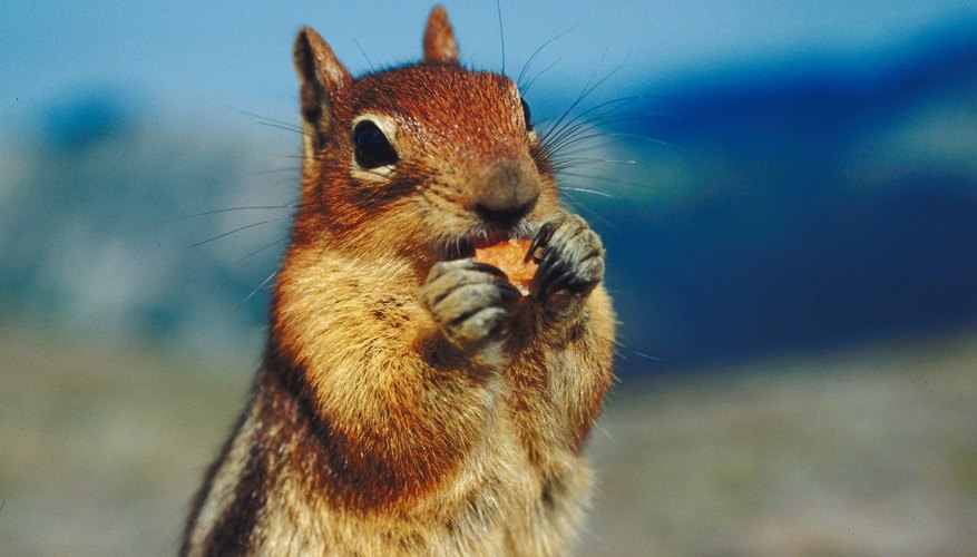 Chipmunks can store food in their cheek pouches to save for winter months.