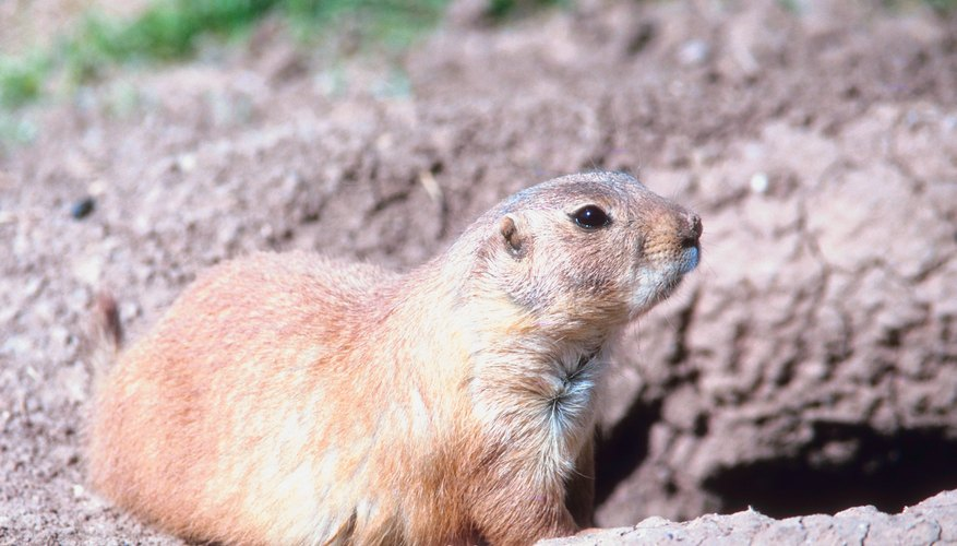 The prairie dog's limbs are adapted to burrowing.