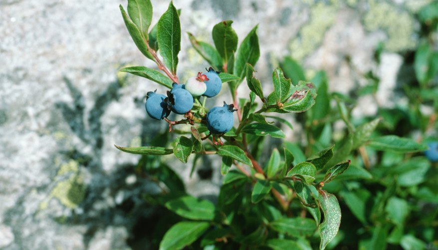 Wild blueberries can be found in many parts of the United States during summertime.