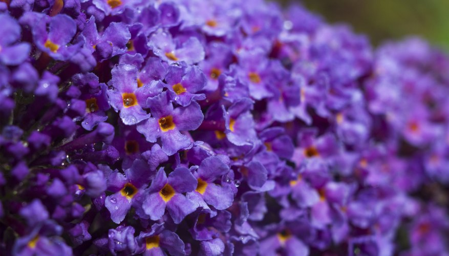 A close-up of purple butterfly bush flowers.