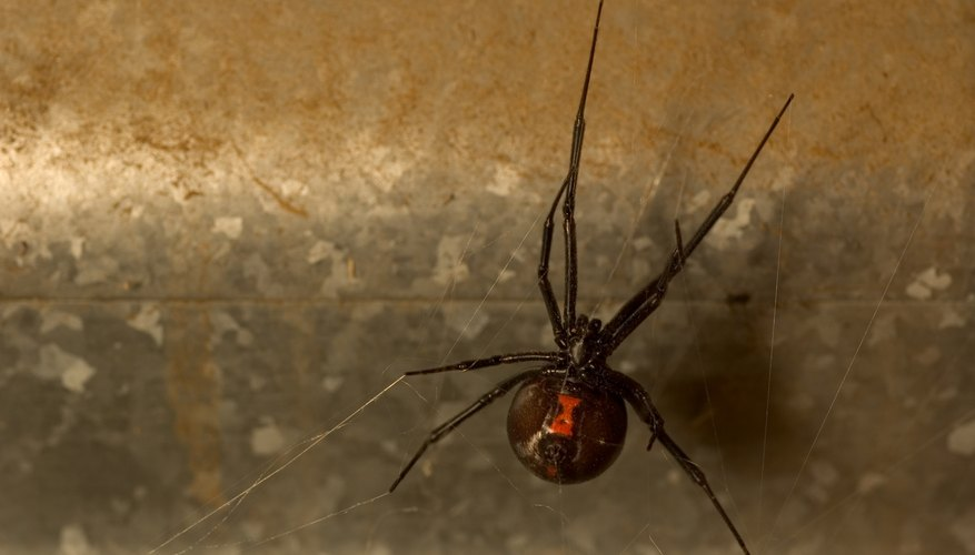 the southern black widow is among the species of spiders found in Pennsylvania