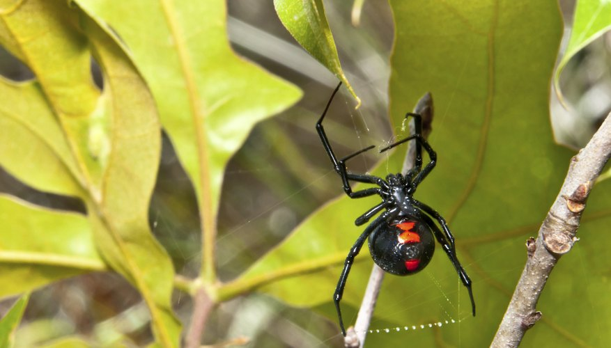 Female black widows have distinctive markings, making them easy to identify.