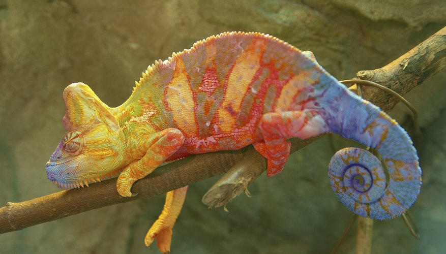 Chameleons change colors when attracting females.
