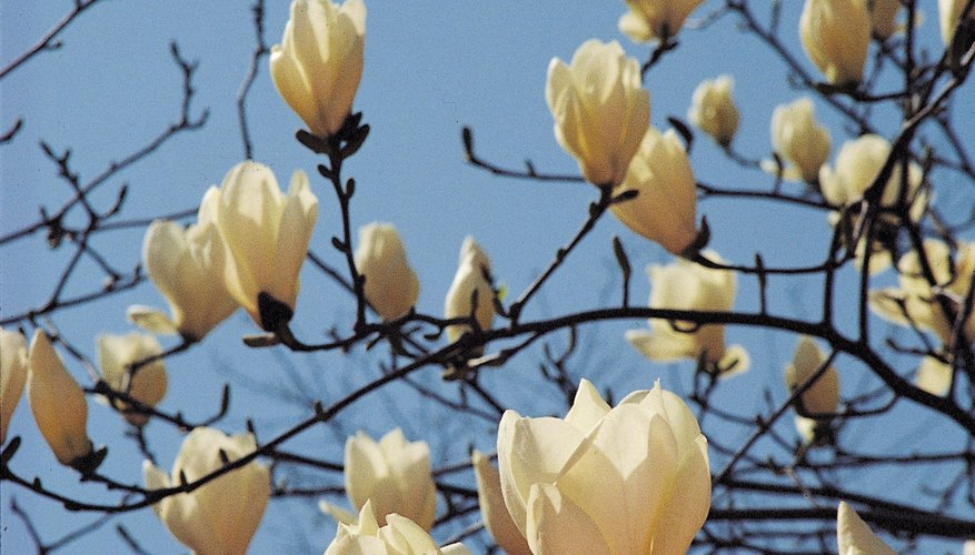 A city-grown, white-flowering saucer magnolia thrives in well-draining, acidic soil.