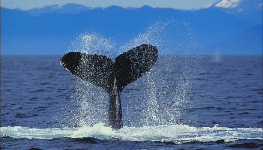 Sperm whales will dive thousands of meters to hunt deep-water prey.