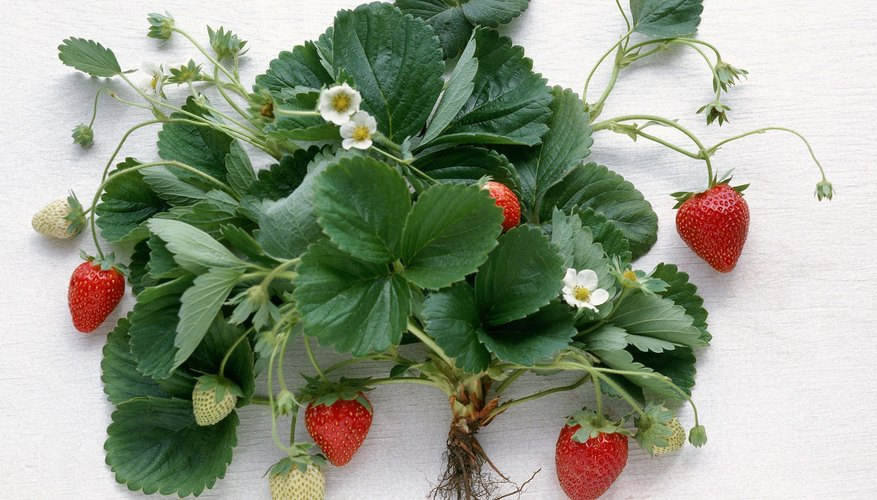 June-bearing plants produce a sizeable, concentrated crop in late spring or early summer.