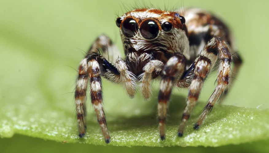 Jumping spiders are common throughout South Africa.
