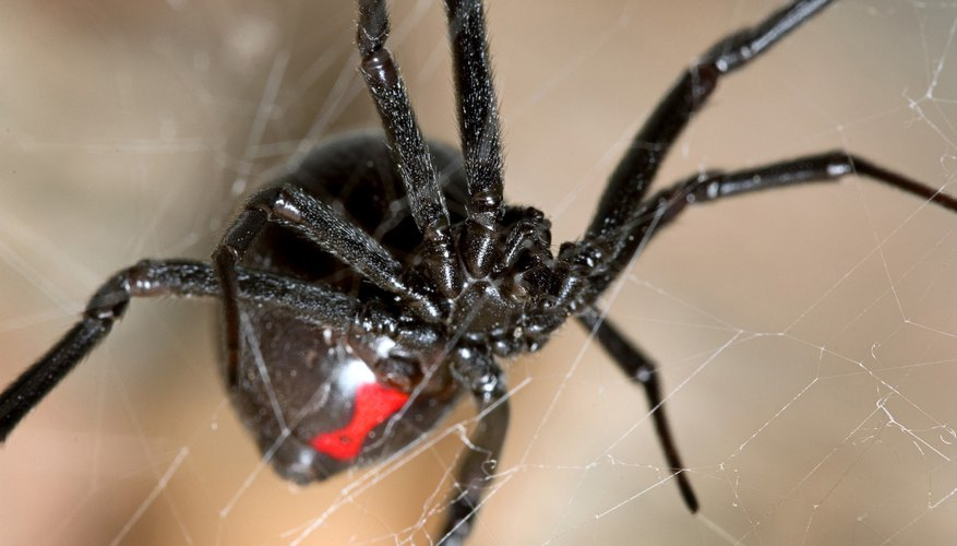 those bitten by the southern black widow may experience fever and chills