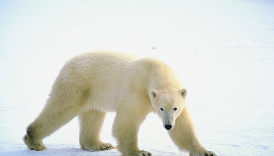 Polar bears are just one of the environmental dangers found in the tundra.