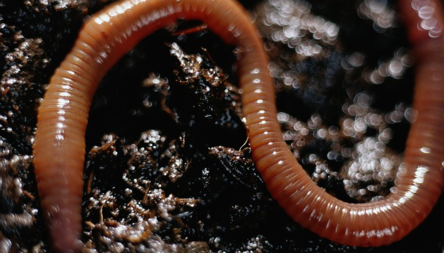 Some types of worms are better for vermiculture than others.