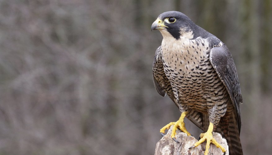 birds of prey like the peregrine falcon can be found on the north central plains