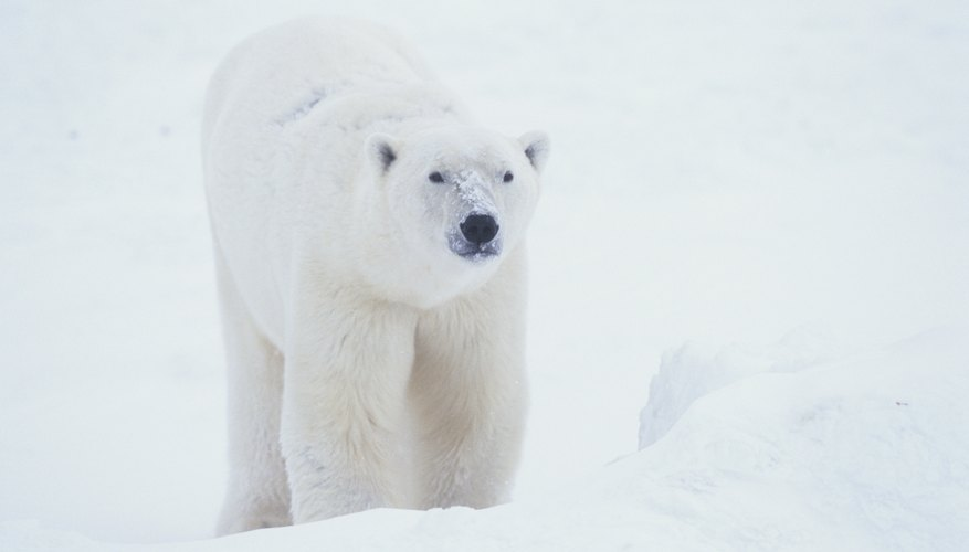Polar bears are thought to be at high risk for extinction due to climate change.