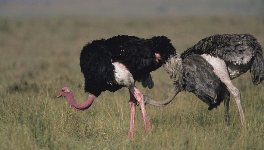 Ostrich S Natural Habitat Sciencing