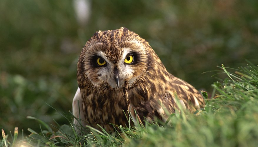 A short ear owl standing on the grass.
