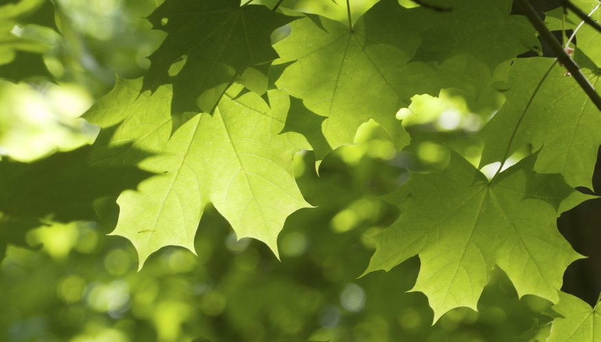 Green maple leaves in sunlight on a tree's branch.