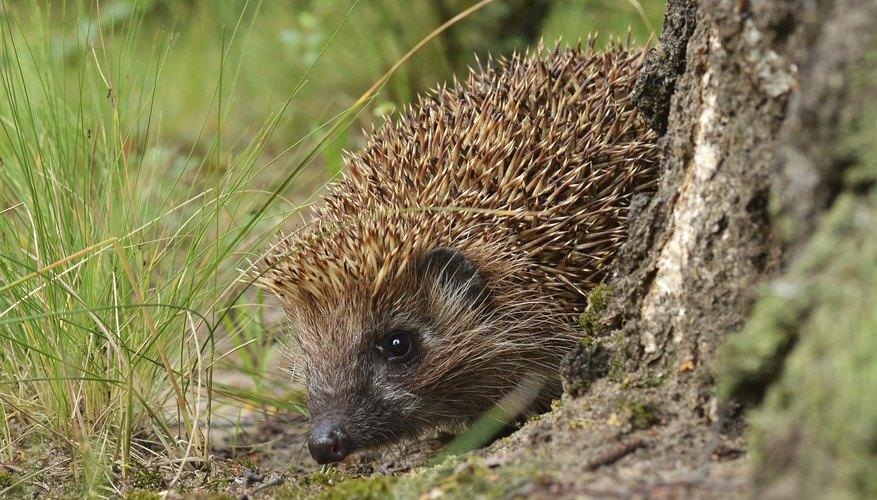 Hedgehog Adaptation Sciencing
