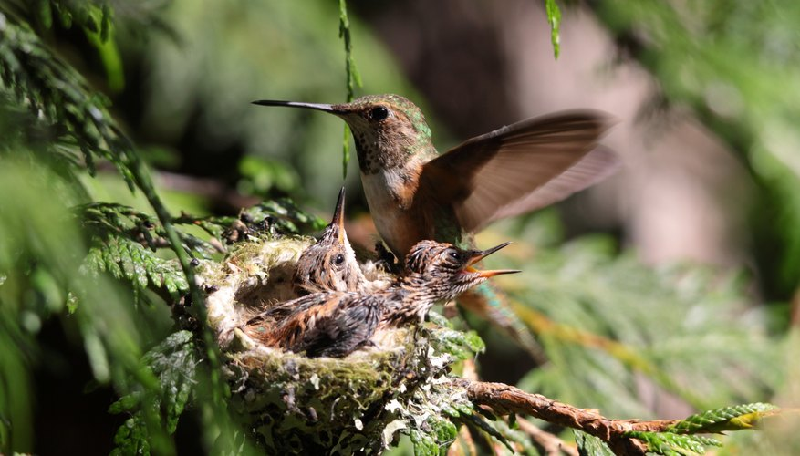 Hummingbird nests are normally held together with pieces of spider webs.