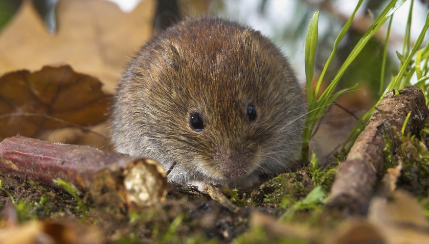 Tundra vole eating
