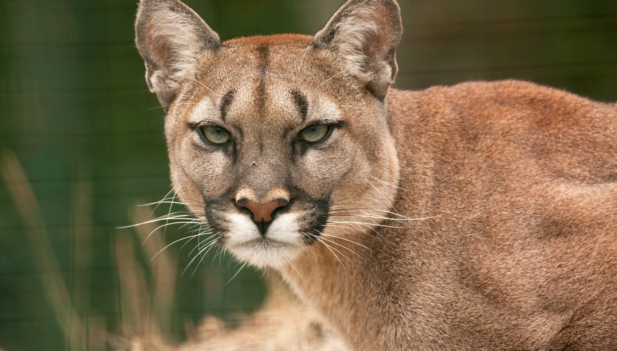 Mountain lions may be found in these types of forests.