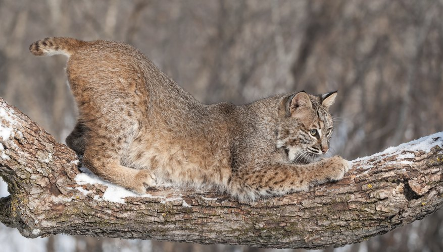 A bobcat crouches down on a log in the winter.